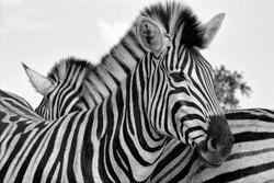 portrait of a zebra at the kruger national park south africa