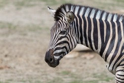 Portrait of a Zebra - Hippotigris. The background is bright