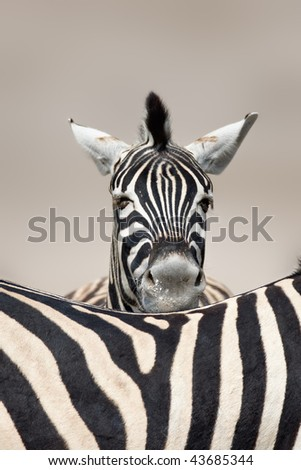 Portrait of a  zebra sleeping on top of another one's back;  Etosha; Equus burchell's