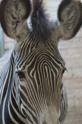 Portrait of a zebra with big eyes and ears - closeup
