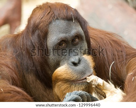 Portrait of adult bornean orangutan - Pongo Pygmaeus