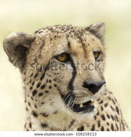 Portrait of adult female cheetah (Acinonyx Jubatus Raineyii), Eastern Africa