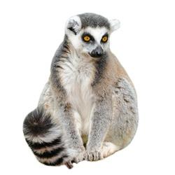 Portrait of adult lemur katta (Lemur catta) on white background
