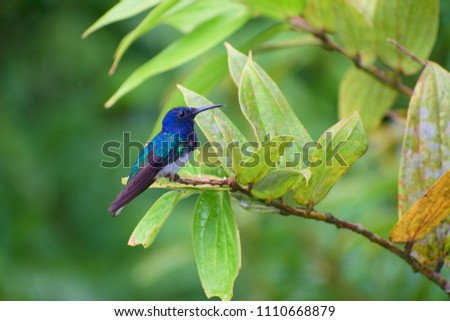 Portrait of Adult Male White-necked Jacobin (Florisuga mellivora) perched on branch #1110668879