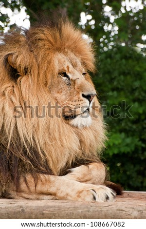 Portrait of African Lion Panthera Leo big cat in captivity