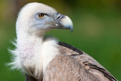 Portrait of alert griffon vulture perched on the ground.