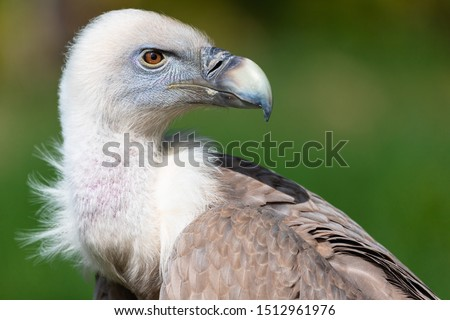 Portrait of alert griffon vulture perched on the ground. Foto stock ©