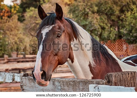Portrait of alert Paint Gelding at fence