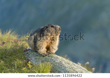 portrait of alpine marmot, marmot on a rock