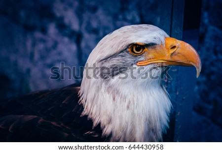 Portrait of American Bald Eagle at zoo in bangkok ,thailand