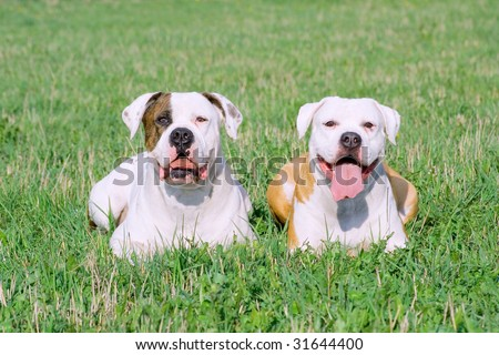 Portrait of American bulldogs on the green grass