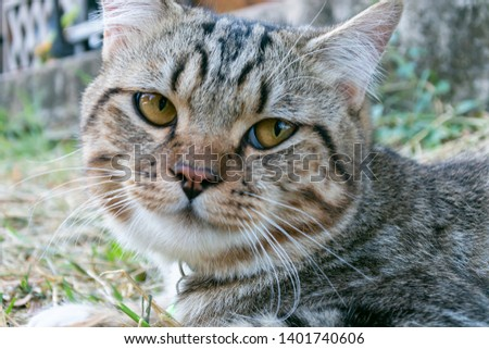 Portrait of american shorthair cat in the backyard #1401740606