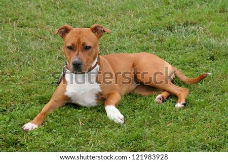 Portrait of American Stafford-shire Terrier on the green grass