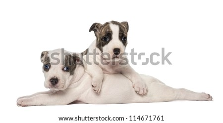 Portrait of American Staffordshire Terrier Puppies lying, 6 weeks old, against white background