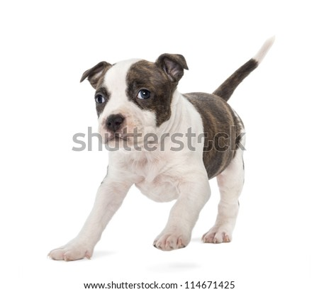 Portrait of American Staffordshire Terrier Puppy running, 6 weeks old, against white background