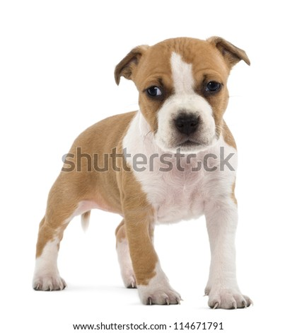 Portrait of American Staffordshire Terrier Puppy, 6 weeks old, against white background