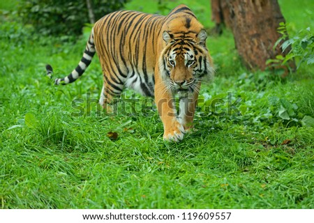 Portrait of Amur Tiger - stock photo