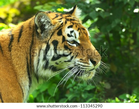 Portrait of Amur Tigers