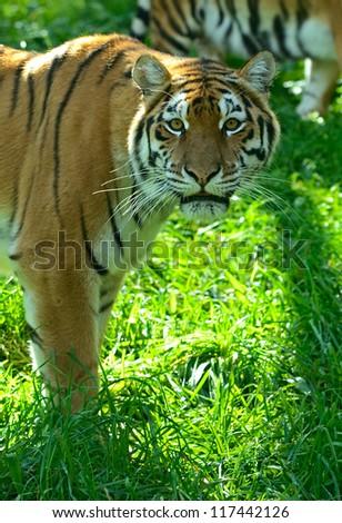 Portrait of Amur Tigers