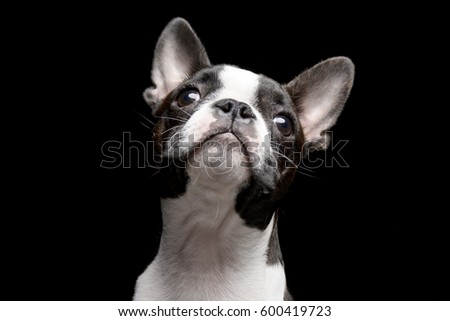 Portrait of an adarable Boston terrier - studio shot, isolated on black.