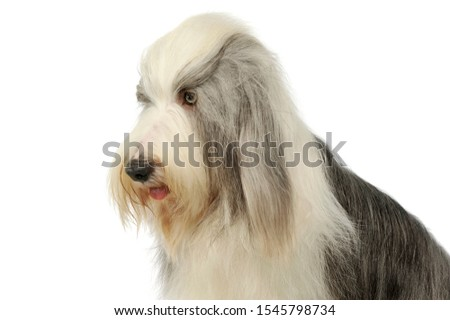 Portrait of an adorable bearded collie looking curiously