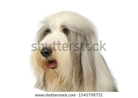 Portrait of an adorable bearded collie looking satisfied