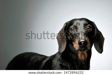 Portrait of an adorable black and tan short haired Dachshund looking curiously at the camera - studio shot, isolated on grey background. #1472896232