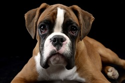 Portrait of an adorable Boxer dog, studio shot, isolated on black.