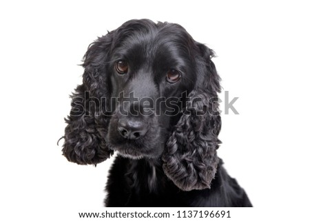 Portrait of an adorable English Cocker Spaniel - isolated on white background. #1137196691