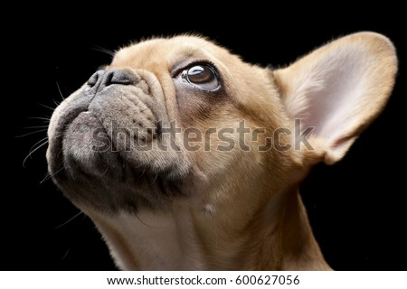 Portrait of an adorable French bulldog - studio shot, isolated on black.