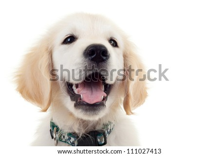 Portrait of an adorable Labrador Retriever puppy dog looking to a side and panting. isolated on white