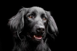 Portrait of an adorable mixed breed dog - studio shot, isolated on black.
