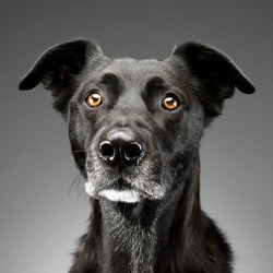 Portrait of an adorable mixed breed dog, studio shot, isolated on grey.