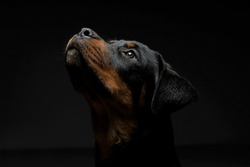 Portrait of an adorable Rottweiler puppy looking up curiously - isolated on black background.