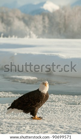 Portrait of an  Adult Bald Eagle (Haliaeetus leucocephalus) on the snow.Chilkat River Alaska USA Haliaeetus leucocephalus
