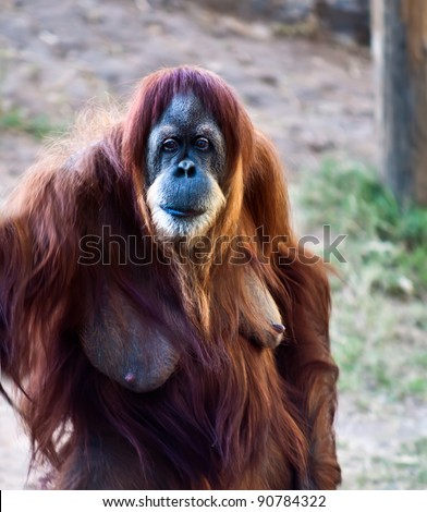 stock photo portrait of an adult female orangutan standing on its hind legs 90784322 Free Drawn Porn presents: Brandy is the hottest porn star at Liberty Meadows ...