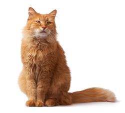 portrait of an adult fluffy red cat, animal sits and looks at the camera on a white isolated background