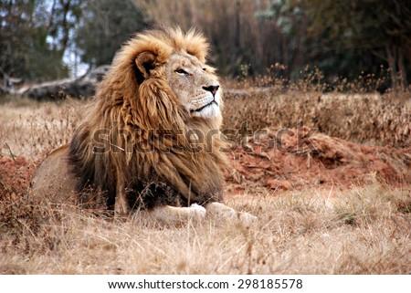 portrait of an adult  lion...