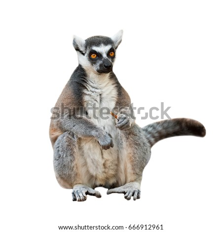Portrait of an adult male of lemur katta on white background