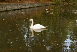 Portrait of an adult White Swan. Wild, migratory birds. Swans in natural habitat. Wild bird close up. Swan head.