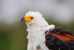 Portrait of an African Fish Eagle sitting next to a pond in a game reserve in South Africa