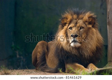 Stock Photo portrait of an african lion, close up, king power