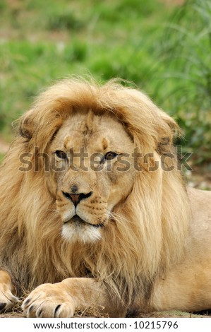 Portrait of an african lion male (Panthera leo krugeri).