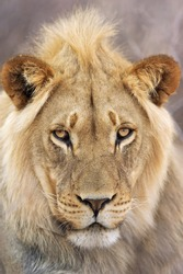 Portrait of an African Lion; panthera leo
