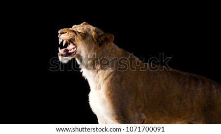Portrait of an African lioness roaring #1071700091
