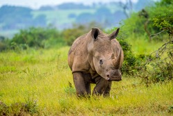 Portrait of an African white Rhinoceros or Rhino or Ceratotherium simum also know as Square lipped Rhinoceros in a South African nature reserve