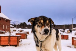 Portrait of an Alaskan Husky sled dog at a dog sledding base in the Arctic Circle in Winter, with an elevated position amongst dog kennels, Alta, Troms og Finnmark, Norway 03.05.19