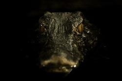 Portrait of an aligator laying in dark