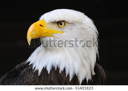 Stock Photo Portrait of an american bald eagle, symbol of freedom of the United States of America.