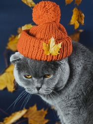 Portrait of an angry gray cat in an orange knitted hat. In the background, yellow leaves. The cat has a wicked face. Clothes for pets. The cat in the hat. Autumn blues. Emotions of animals.